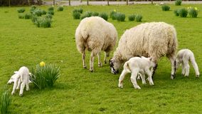 Sheep and lambs. Widescreen of two sheep with lambs Royalty Free Stock Photos