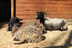 Sheep with lambs in the zoo. royalty free stock photos