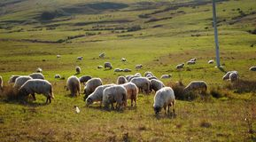 Sheep on the land Stock Photos