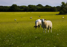 Sheep landscape. Field full of sheep on a late spring evening with the warm glow of the setting sun stock image