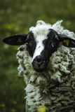 Sheep in the landscape of durach stock image