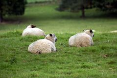 Sheep in a landscape, England Royalty Free Stock Photos