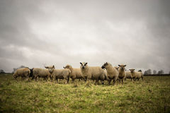 Sheep in Landscape Royalty Free Stock Image