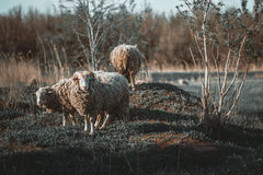 Sheep. On the landscape taken meadow Royalty Free Stock Photography
