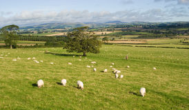 Sheep Landscape View Stock Photo