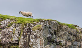 Sheep in landscape at West coast of Scotland Royalty Free Stock Images