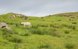 Sheep in landscape at West coast of Scotland Stock Image