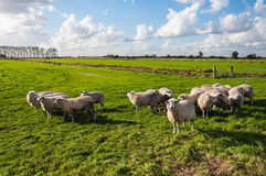Sheep in late afternoon sun Stock Photos