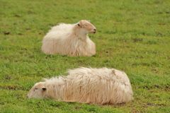 Sheep latxas resting in the Baztan valley Stock Images