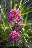 Sheep laurel Pink Flower in Summer Vertical stock photos