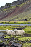 Sheep on lava field, Eldgja, Iceland Royalty Free Stock Photo