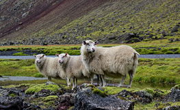 Sheep on lava field, Eldgja, Iceland. Three sheep on lava field Stock Photo