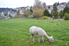 Sheep on the lawn in Lucerne Stock Photo