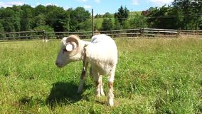 Sheep on lawn Royalty Free Stock Photos