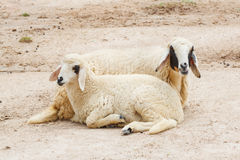 Sheep lay down,couple. In the farm stock photo