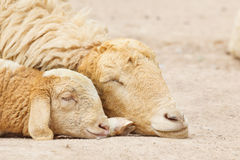 Sheep lay down,couple. In the farm royalty free stock photos