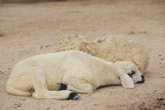 Sheep lay down. In the farm stock images