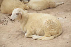 Sheep lay down. In the farm royalty free stock photography