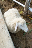 Sheep lay down on ground Stock Photos