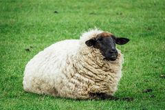 Sheep lay on green grass at spring time royalty free stock images