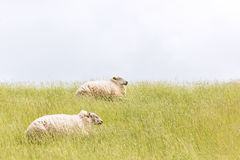 Sheep laying on levee grass Stock Images