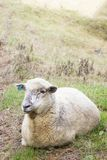 Sheep lazing in a meadow. One white sheep, New Zealand stock photography
