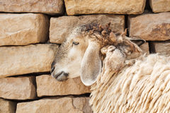 Sheep lean the wall. In the farm royalty free stock photo