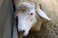 Sheep Leaning on Fence. A sheep enjoys some time on the farm Stock Images