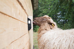 Sheep licking a saltstone Royalty Free Stock Images