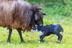 Sheep licks newborn black lamb with navel cord stock photo