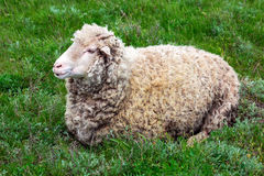 The sheep lies. Royalty Free Stock Images