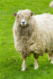 Sheep. Of the Lincolnshire Long Wool breed happily grazing in a field in Somerset. Idyllic setting Stock Photography