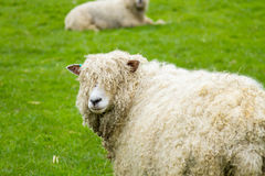 Sheep. Of the Lincolnshire Long Wool breed happilygrazing in a field in Somerset. Idyllic setting Royalty Free Stock Photo