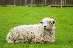 Sheep Royalty Free Stock Image