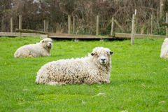 Sheep. Of the Lincolnshire Long Wool breed happilygrazing in a field in Somerset. Idyllic setting Royalty Free Stock Photos