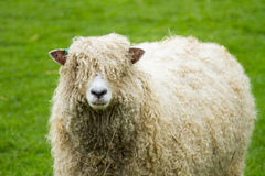 Sheep. Of the Lincolnshire Long Wool breed happilygrazing in a field in Somerset. Idyllic setting Stock Photography