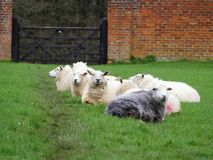 Sheep in a line within walled garden royalty free stock image