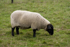 Sheep. Little fluffy sheep-eating grass Stock Image