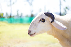 Sheep with little horns Stock Photos
