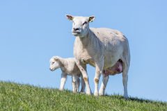 Sheep and little lamb in Dutch field royalty free stock photography