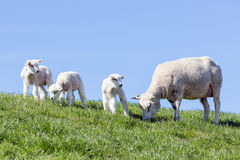 Sheep and little lambs in Dutch field Royalty Free Stock Image