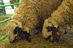 Sheep at livestock exhibition Royalty Free Stock Photo