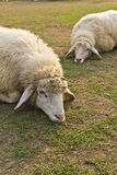 Sheep in Livestock farm Royalty Free Stock Photography