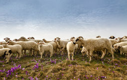 Sheep. Livestock farm - herd of sheep Royalty Free Stock Images