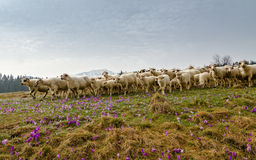 Sheep. Livestock farm - herd of sheep Stock Image