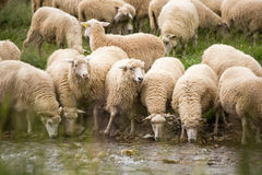 Sheep. Livestock farm - herd of sheep Royalty Free Stock Photos