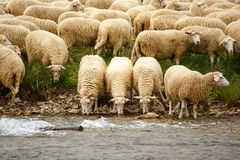 Sheep. Livestock farm - herd of sheep Stock Photography