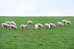 Sheep livestock grazing in farm field agriculture animals green and white. Uk royalty free stock images