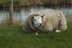 Sheep. Is located in grass Stock Images