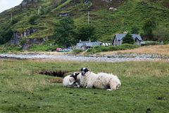 Sheep Loch sunart scotland united kingdom europe. Sheep Loch sunart landscapes of high scotland loch and heath scotland united kingdom europe stock photos